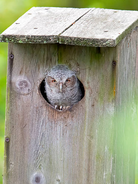 Eastern Screech-Owl in Nest Box stock photo