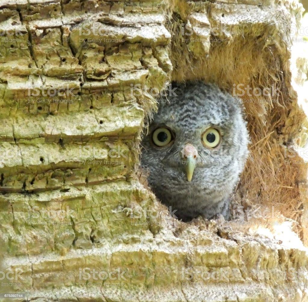 Eastern Screech-Owl (Megascops asio) photo libre de droits