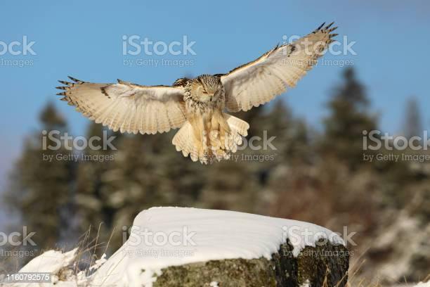 Eastern siberian eagle owl bubo bubo sibiricus landing on rock with picture id1160792575?b=1&k=6&m=1160792575&s=612x612&h=jurvre6zoxbgvzsqw61ur0 knii9kh5nkldvey2xy74=