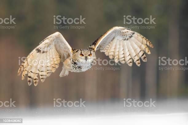 Eastern siberian eagle owl flying in winter beautiful owl from russia picture id1028408062?b=1&k=6&m=1028408062&s=612x612&h=g73slvgwidkwi7y6i1lwvymoanltyecrwx3hjkiy5tk=