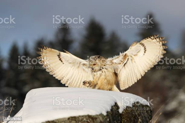 Eastern siberian eagle owl flying in winter beautiful owl from russia picture id1150576160?b=1&k=6&m=1150576160&s=612x612&h=5m1bkrx9pn6yqlkleo 1oyhyj9u8gs9fe3hvyeoi7fo=