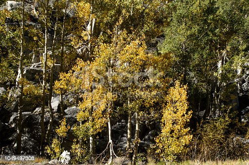 Colorful fall aspen trees growing on Bishop Creek Canyon mountain side.