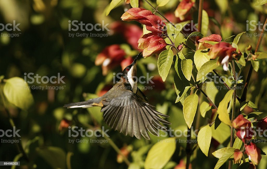 Eastern Spinebill Librarsi nell'aria foto stock royalty-free