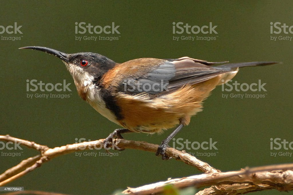 Eastern Spinebill perched on a branch stock photo