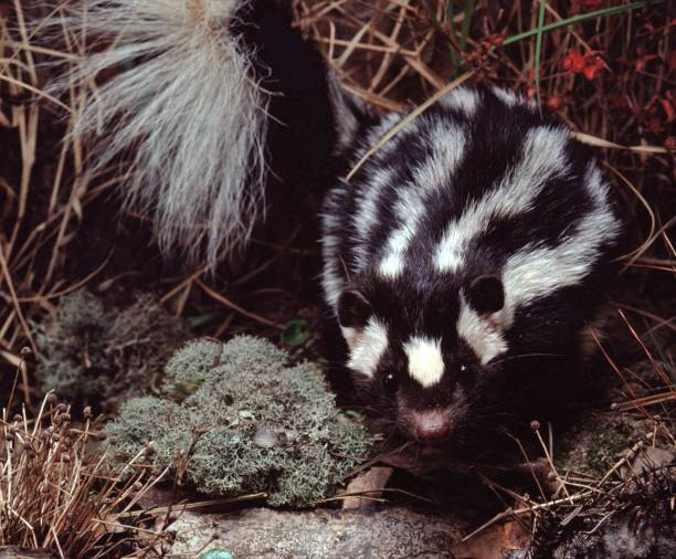 eastern spotted skunk (spilogale putorius) - skunk stock photos and pictures