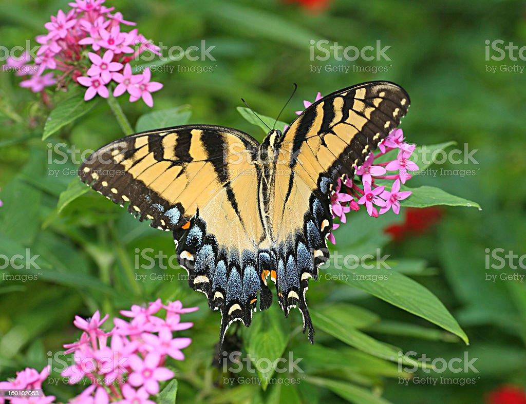 Eastern mariposa cola de golondrina foto de stock libre de derechos