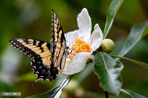 butterfly and franklinia flower