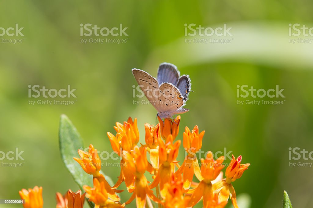 Eastern Tailed Blue butterfly on Butterfly Weed stock photo