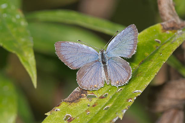 Eastern Tailed Blue Butterfly stock photo