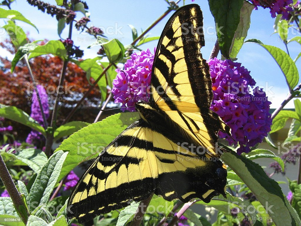 Eastern Tiger Swallowtail 2 royalty-free stock photo