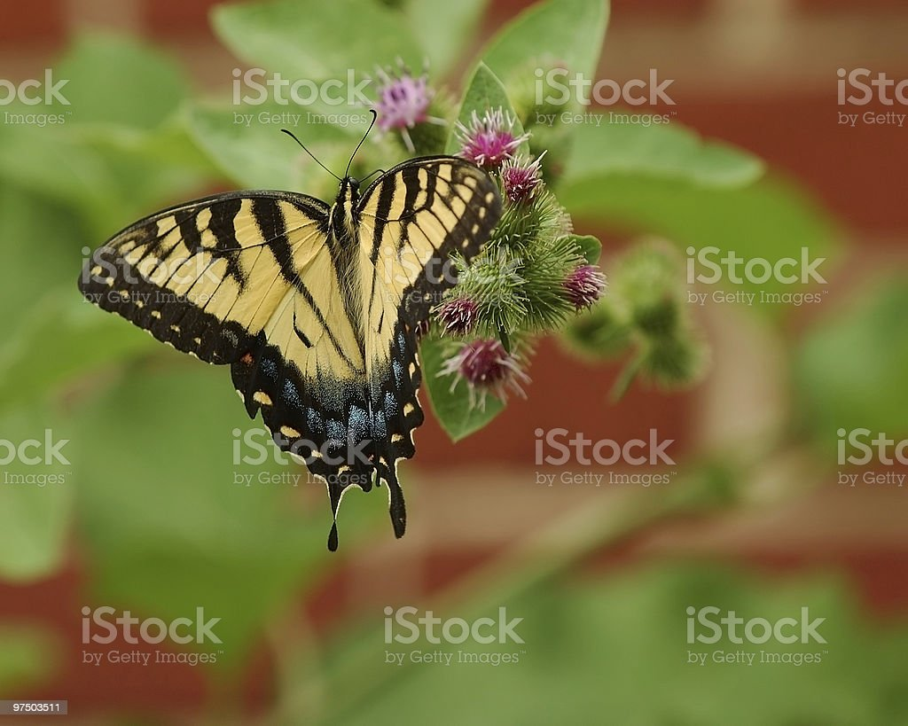 Eastern Tiger Swallowtail 2 royalty-free stock photo