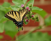 istock Eastern Tiger Swallowtail 2 97503511