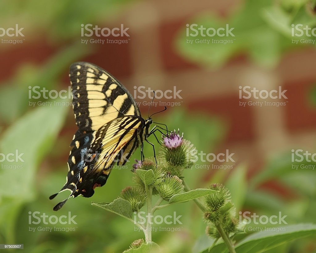 Eastern Tiger Swallowtail 3 royalty-free stock photo