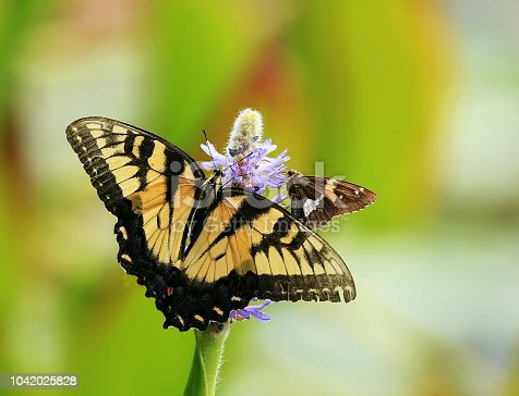 Photographed the cute Eastern Tiger Swallowtail and Silver-spotted Skipper Butterflies feeding on a Pickerelweed on Walney Pond, Ellanor C Lawrence Park, Fairfax County, Virginia.