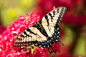 butterfly, blooms, feeding, pink
