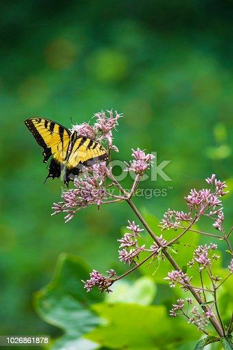 Eastern tiger swallowtail butterfly feeds on a pink Joe Pye weed flower.