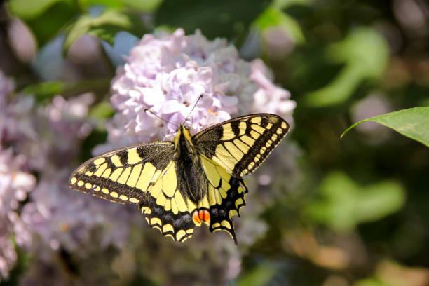 Papilio glaucus borboleta na primavera, no jardim com flores roxas da árvore syringa lilás. Seletiva, concentrando-se na área dos olhos da borboleta. Temporada de primavera, Primavera, plano de fundo e papel de parede. - foto de acervo
