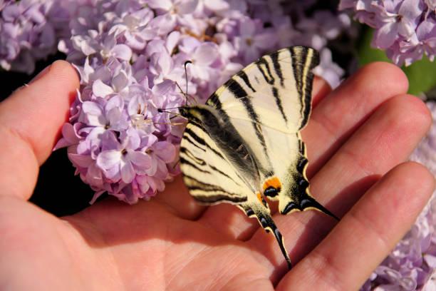 Papilio glaucus borboleta na primavera, no jardim com flores roxas da árvore syringa lilás. Seletiva, concentrando-se em borboleta sentado por lado. Temporada de primavera, Primavera, plano de fundo e papel de parede. - foto de acervo