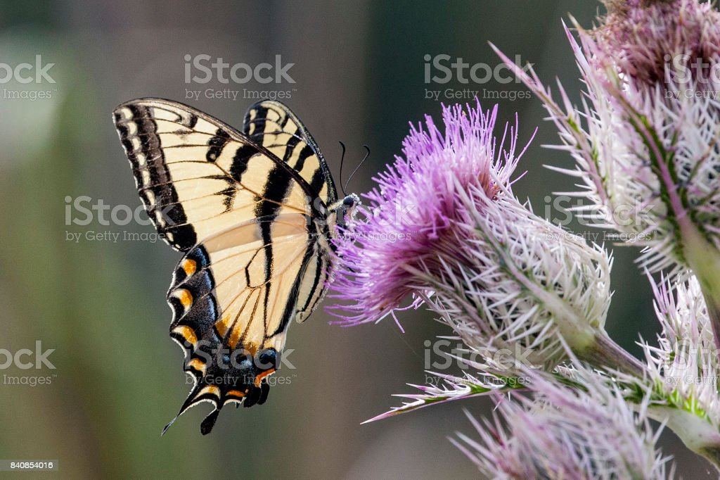Eastern Tiger Swallowtail Butterfly on a purple thistle bloom wildflower stock photo