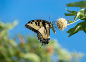 Eastern Tiger Swallowtail butterfly (Papilio glaucus) on Buttonbush