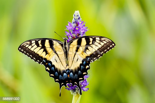 A yellow and black Eastern Tiger Swallowtail butterfly nectaring on pickerelweed.