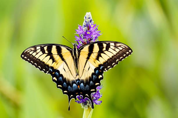 Eastern tiger swallowtail butterfly on pickerelweed flower picture id588991002?b=1&k=6&m=588991002&s=612x612&w=0&h=ibi jjhzsh lt94c gswrhmw0mfc4kwyqtlrka pksu=