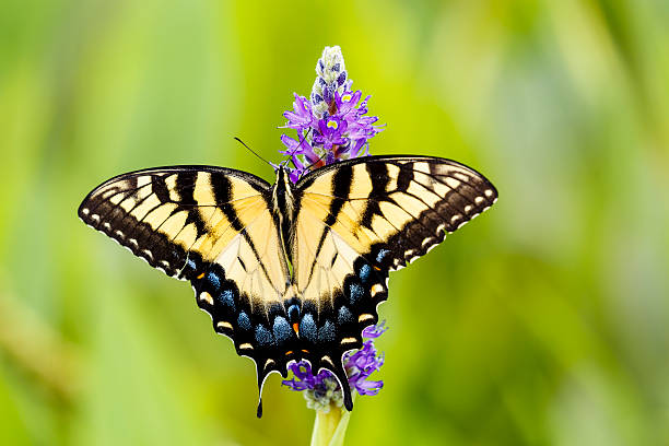 Eastern Tiger Swallowtail Butterfly on Pickerelweed Flower stock photo