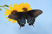 Eastern Tiger Swallowtail butterfly (Papilio glaucus) on sunflowers. Blue sky background.