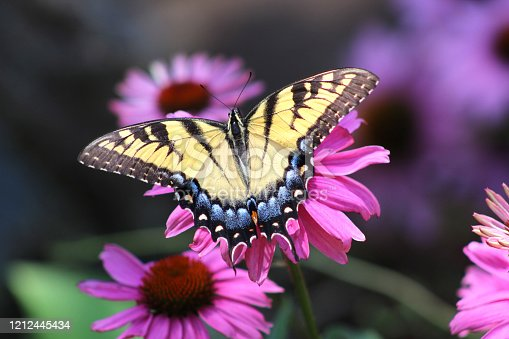 An Eastern Tiger Swallowtail butterfly in a garden of wildflowers.
