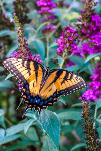 Eastern tiger swallowtail butterfly picture id1008532562?b=1&k=6&m=1008532562&s=612x612&w=0&h= vqpd2ppzwe7jxe7 r7boisjbs3tldezjmfe9tvc8 w=