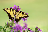 Papilio glaucus, the eastern tiger swallowtail showing off yellow colours in Ontario, Canada. Side profile view.