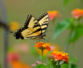 Tiger Swallowtail butterfly on top of Lantana flowers.