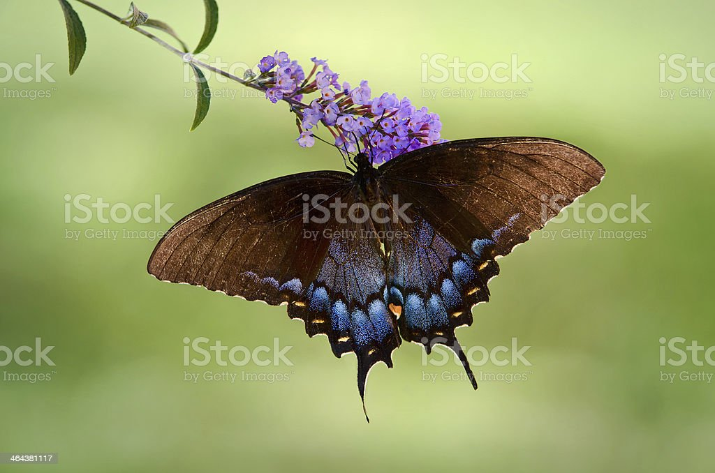 Eastern Tiger Swallowtail butterfly royalty-free stock photo