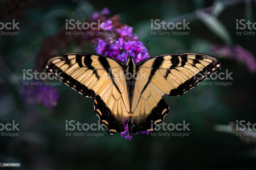 Eastern Tiger Swallowtail (Papilio glaucus) Butterfly stock photo