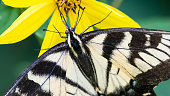 istock Eastern Tiger Swallowtail Butterfly Sipping Nectar from the Accommodating Flower 1318009381