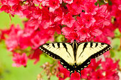butterfly, pink, flowers, Swallowtail,