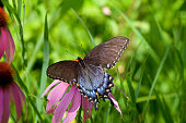 Close-Up of Eastern Tiger Swallowtail  on Pink Flower with Selective Focus