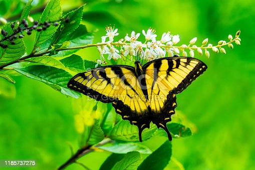 Eastern Tiger Swallowtail butterfly proboscis in flower during the summer season