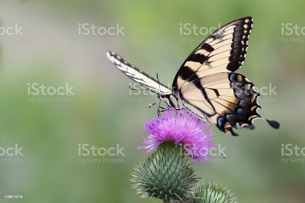Eastern tiger swallowtail stock photo