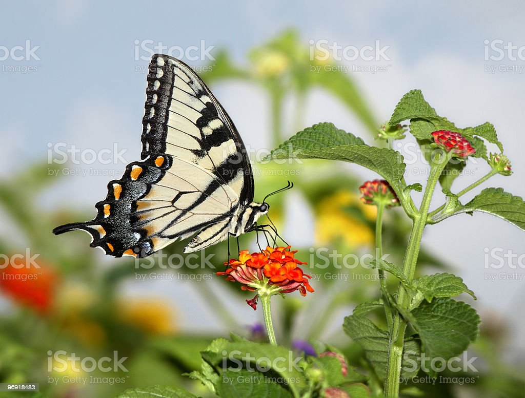 Eastern Tiger Swallowtail royalty-free stock photo