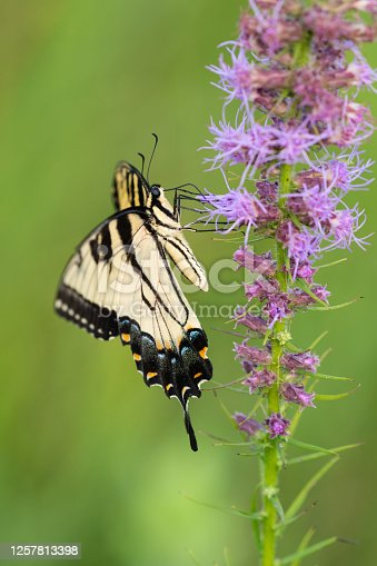 This Eastern Tiger Swallowtail butterfly was photographed on gayfeather at a tallgrass prairie in Arkansas.