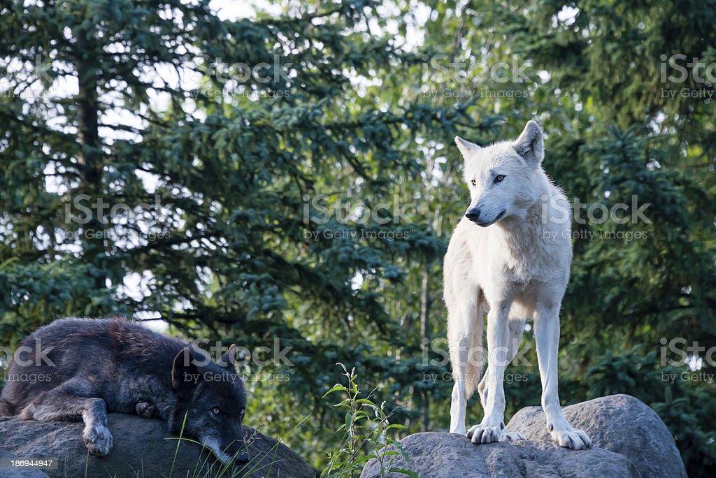 Eastern madeira wolves - foto de acervo