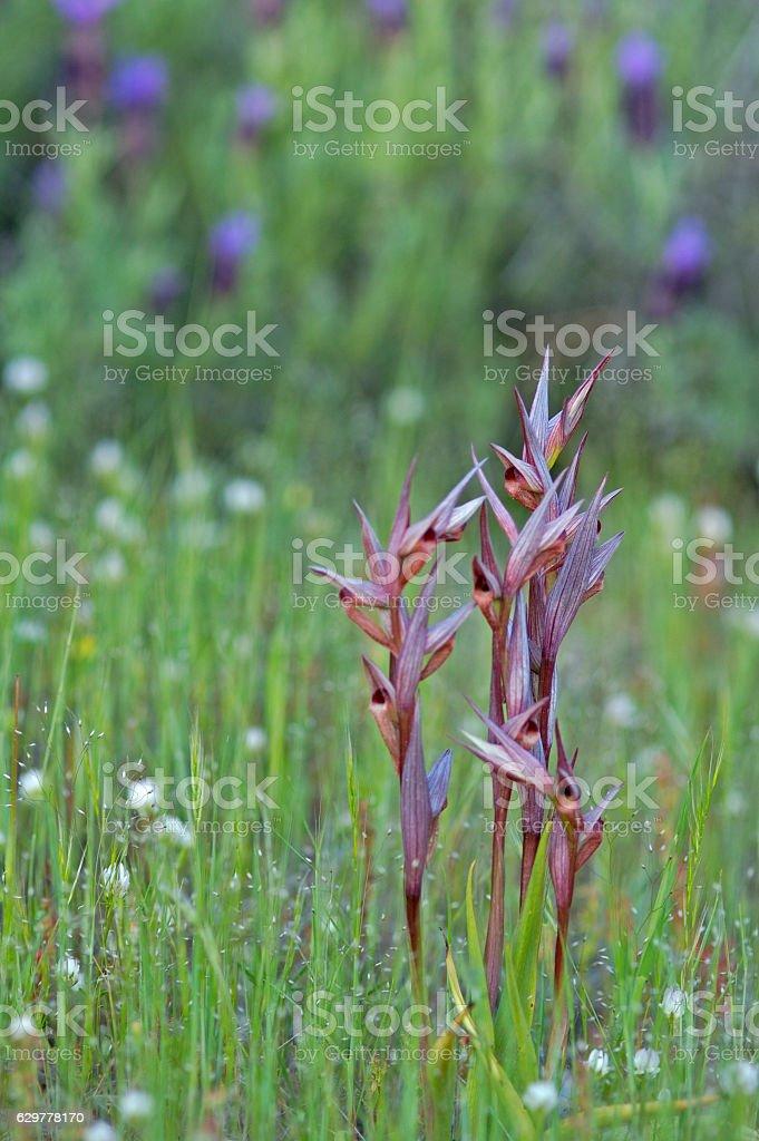 Eastern Tongue Orchid (Serapias cordigera) stock photo
