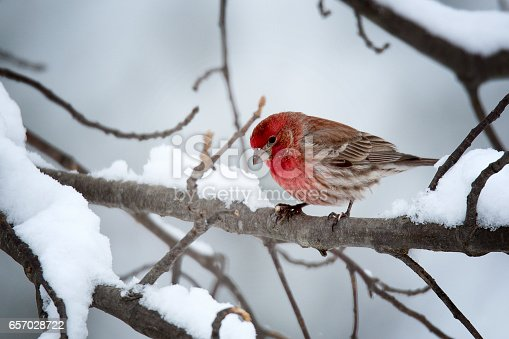 House finch photographed in Virginia.
