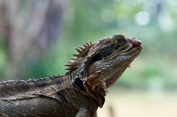 Eastern Water Dragon Lizard stock photo