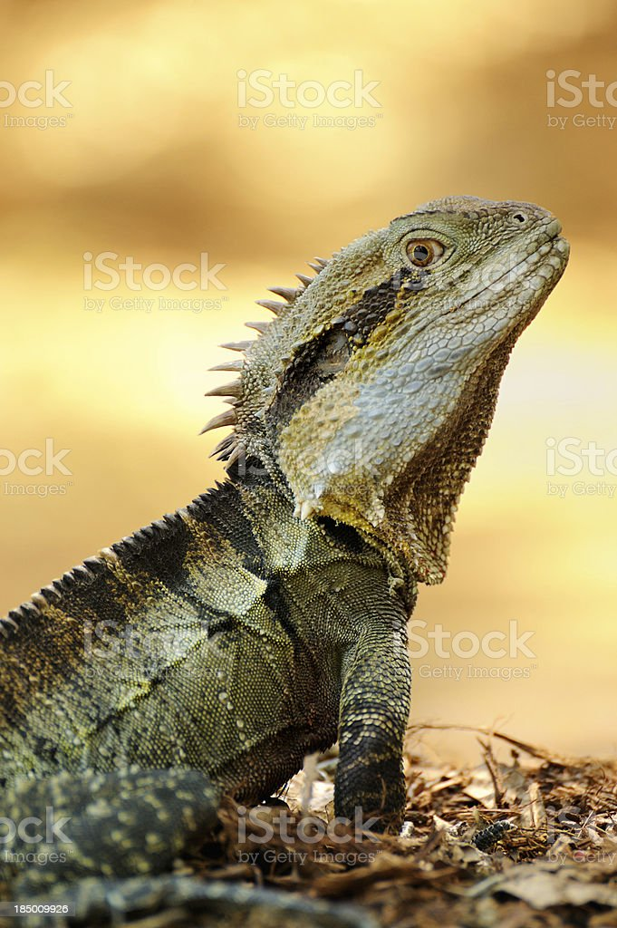 Eastern Water Dragon Lizard stock photo