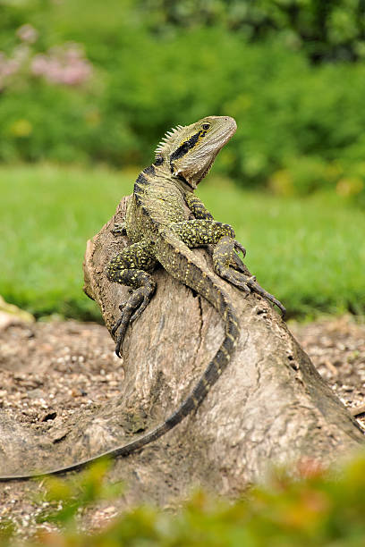 Eastern water dragon on a tree trunk stock photo