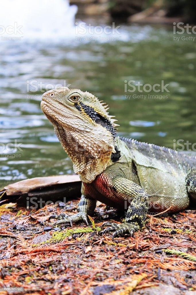 Eastern Water Dragon, Physignathus lesueurii (Agamidae). Brisbane, Queensland Australia stock photo