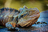 Fat Australian eastern water dragon perched on a rock by the river
