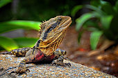 Australian eastern water dragon perched on a rock by the river